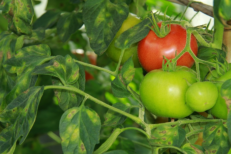 Reasons why tomato leaves might turn yellow | Cropaia