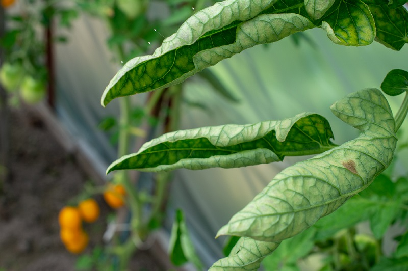 Interveinal chlorosis and leaf curl in tomato, caused by Tomato Chlorosis Virus